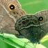 butterfly_eyespots3