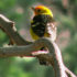 western-tanager3