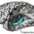 hippocampus3