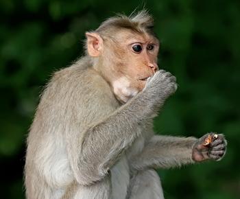 Monkey_eating2