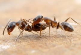 Argentine ants fighting