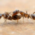 Argentine ants fighting