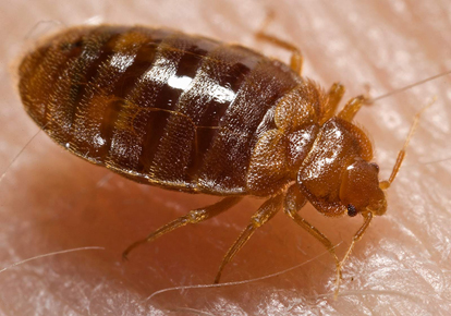 bedbug_close2