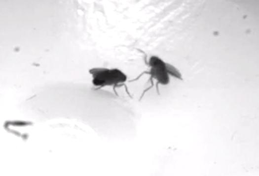 fly_attack_1