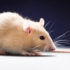 rat_alone3