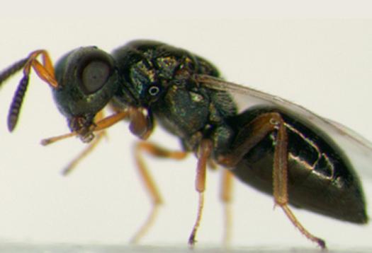 wasp3