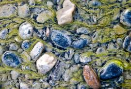 algae_1