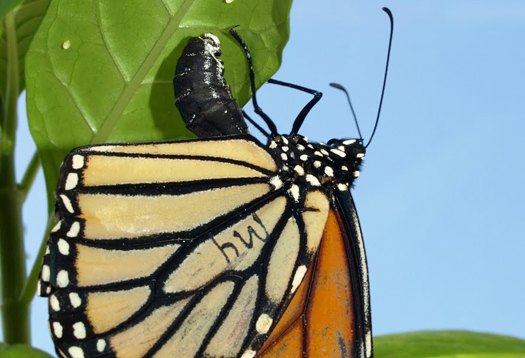 monarch-egg-crop_1