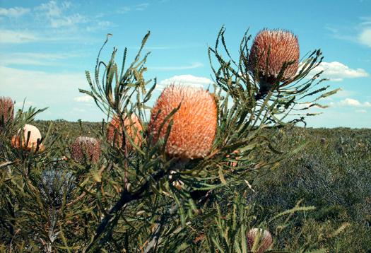 Australia-Banksia_1