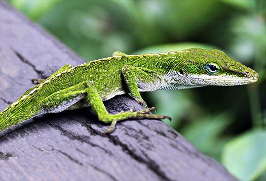 Anolis_lizard_1