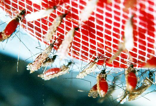 malaria_mosquito_1