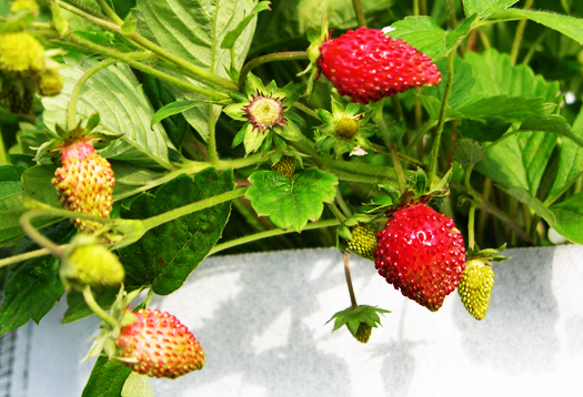 illinois strawberry_1