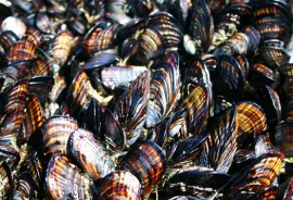 California mussels. Photo by Jackie Sones (via Brian Gaylord, BML)