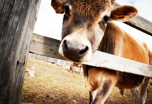 cow_vaccine_1