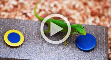 lizard_duke_video