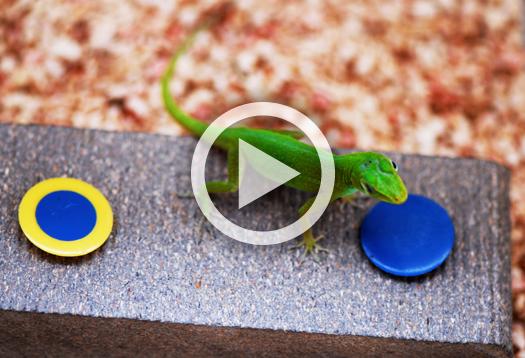 lizard_duke_video