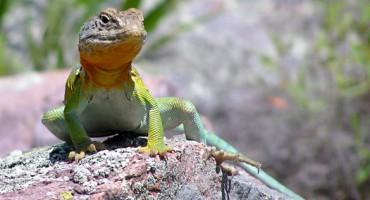 collared_lizard_1