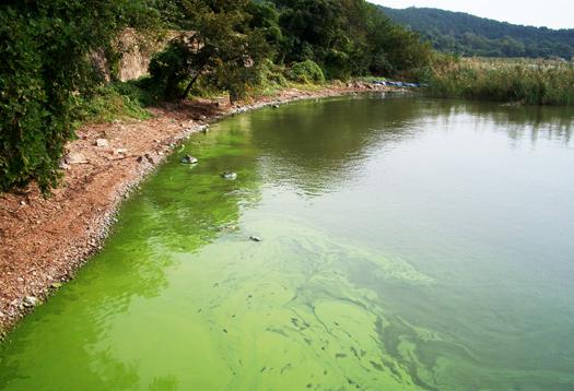Cyanobacteria_1