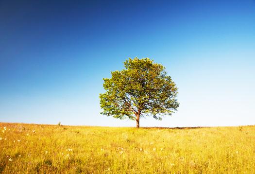 walnut_tree_1