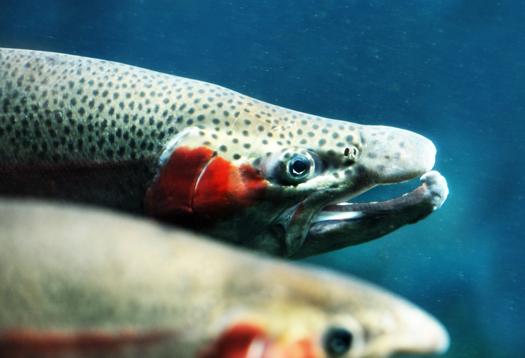 trout_1
