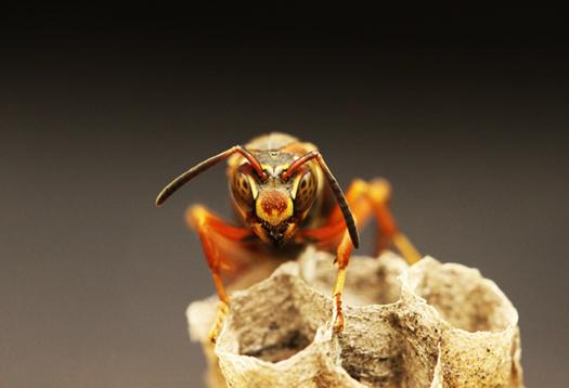 wasp queen_1