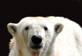 polarbear_1