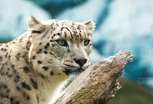 snow_leopard_1