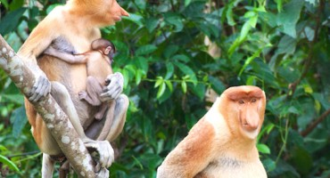 Proboscis monkeys_1