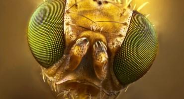 fruitfly_macro_1