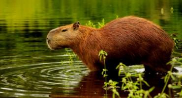 Capybara 02