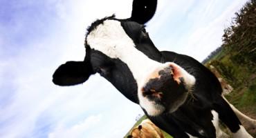 cow_diary_1
