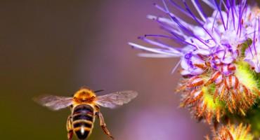 honeybee_1