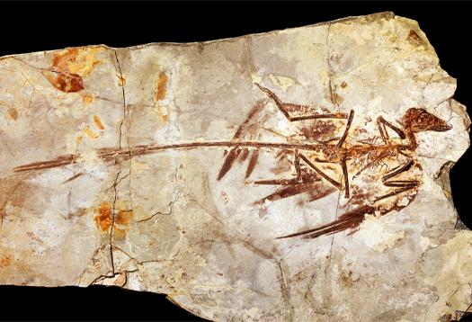 microraptor-fossilbigger