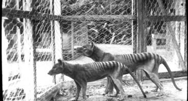 T_Tiger_1