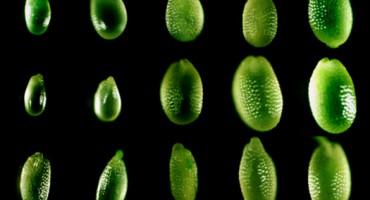 seed-size-arabidopsis-web