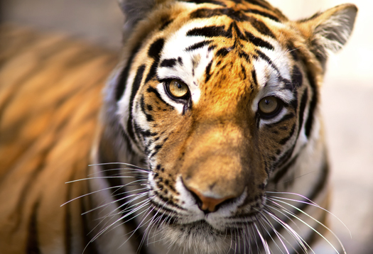 tiger_stripe_1