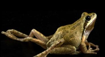 Malformed chorus frog_1