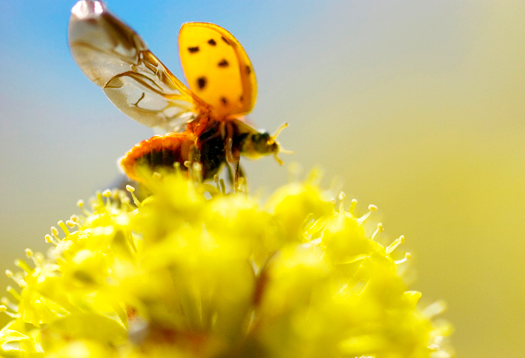 ladybug_525