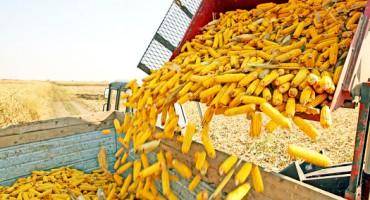 corn_crop_525