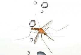 mosquito_525