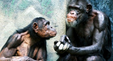 chimp_discussion_525