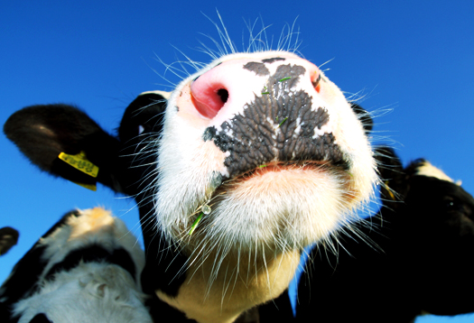 cow_nose_525