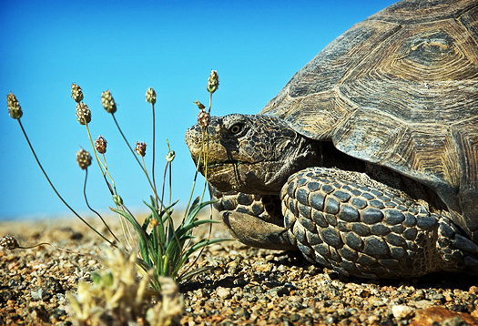 desert_tortoise_1