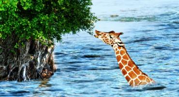 flood_giraffe_525