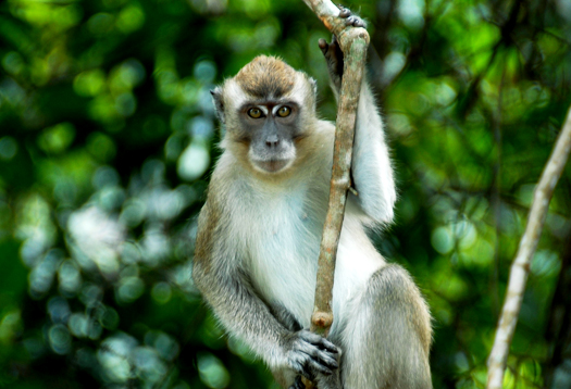 longtailedmacaque_525
