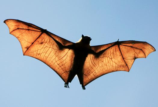 bat_inflight_525