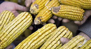 corn_drought_1