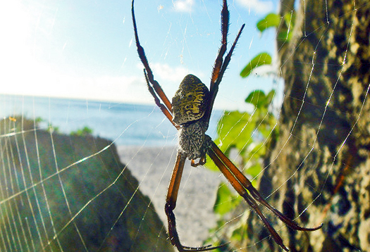 guam_spider_1