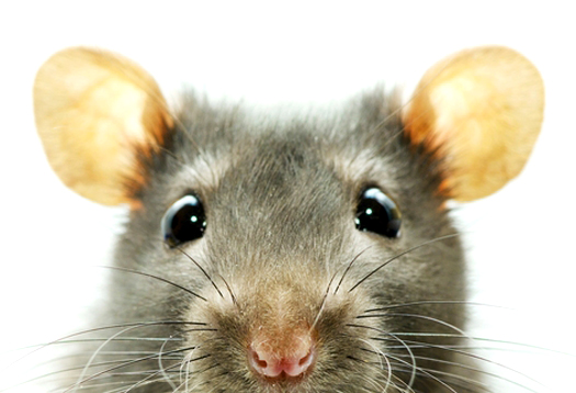 mouse_closeup_1