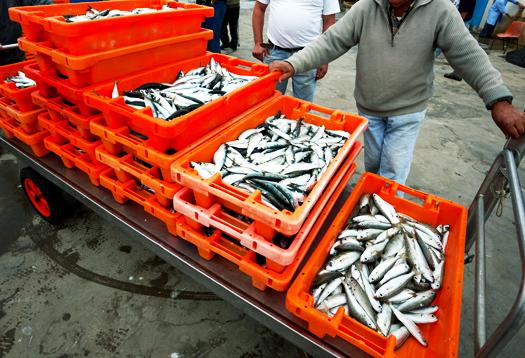 sardine_catch_525